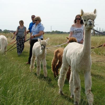 People taking Alpacas for a walk in a Farm - Great activity for a Hen party