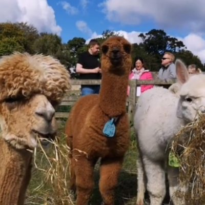 Family Farm Alpacas eating straw
